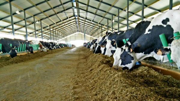 Использование регуляторных комплексов в рационах коров - путь к управлению здоровьем и продуктивностью.